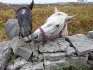 Connemaras_Galway