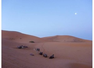 morocco camels