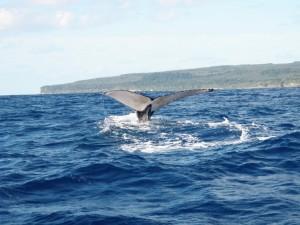 Humpback whales, Uoleva, Tonga