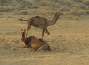 Desert2 Camel