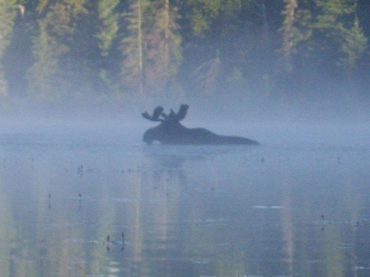 Moose in the Algonquin