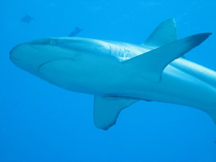 shark bluecorner dale and jenni