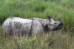 284px-Kaziranga_Rhinoceros_unicornis
