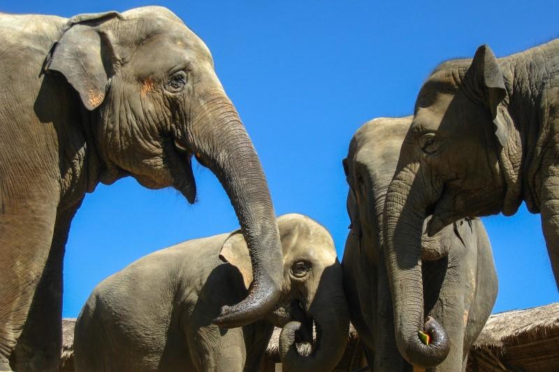 saving thailands elephants