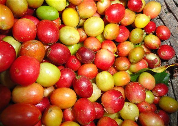 honduras coffee beans