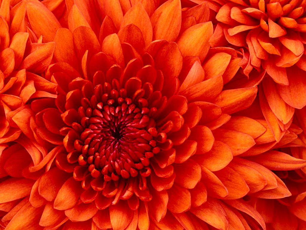 2014-11-27_5476f3d5d71de_Chrysanthemum.jpg