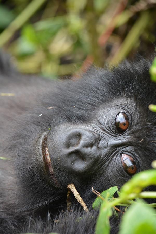 Mountain gorilla baby eyes