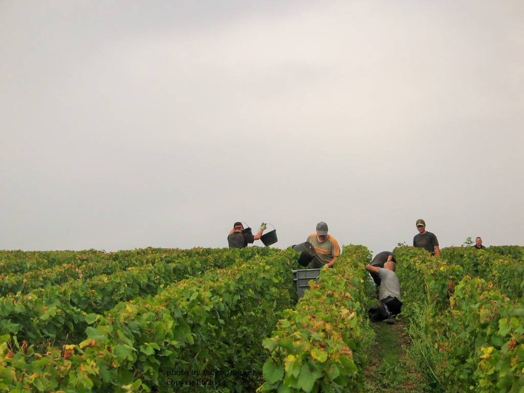 Champagne harvest, France. Photo by Paige Donner copyright 2014
