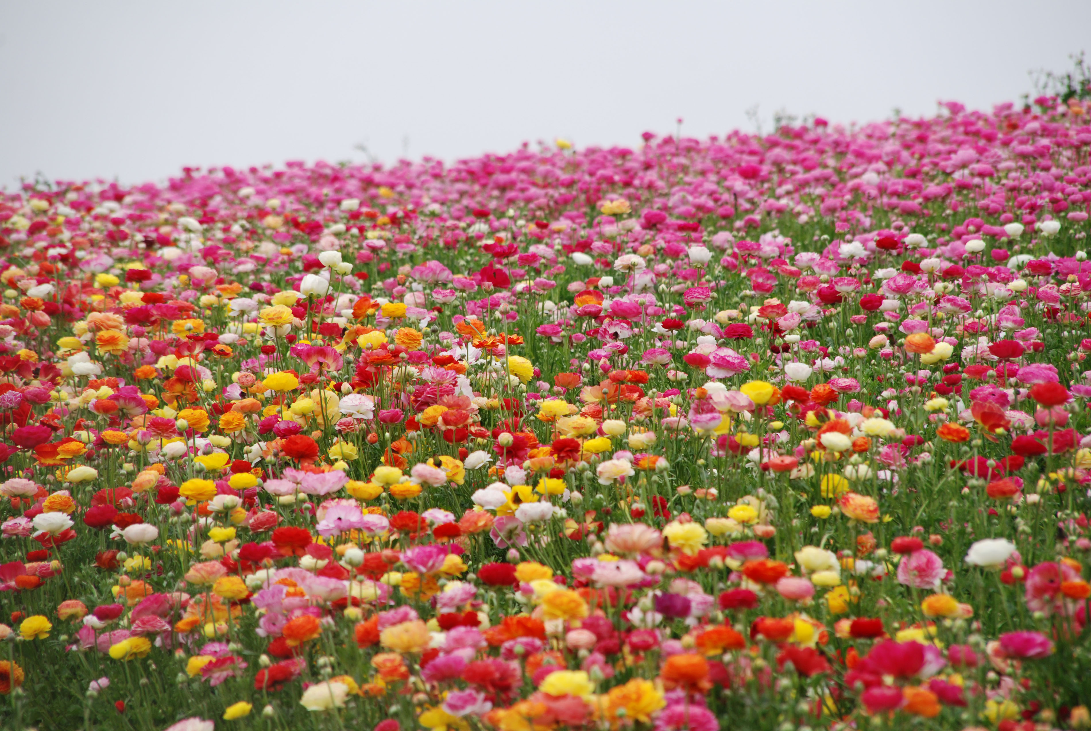The Flower Fields Visit Carlsbad California with We Said