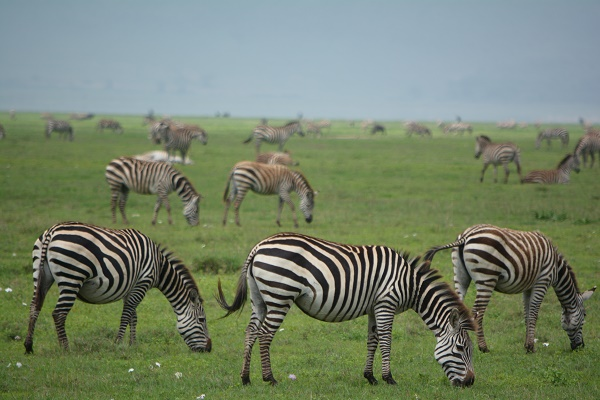 Zebras in Ngorongoro Crater Tanzania