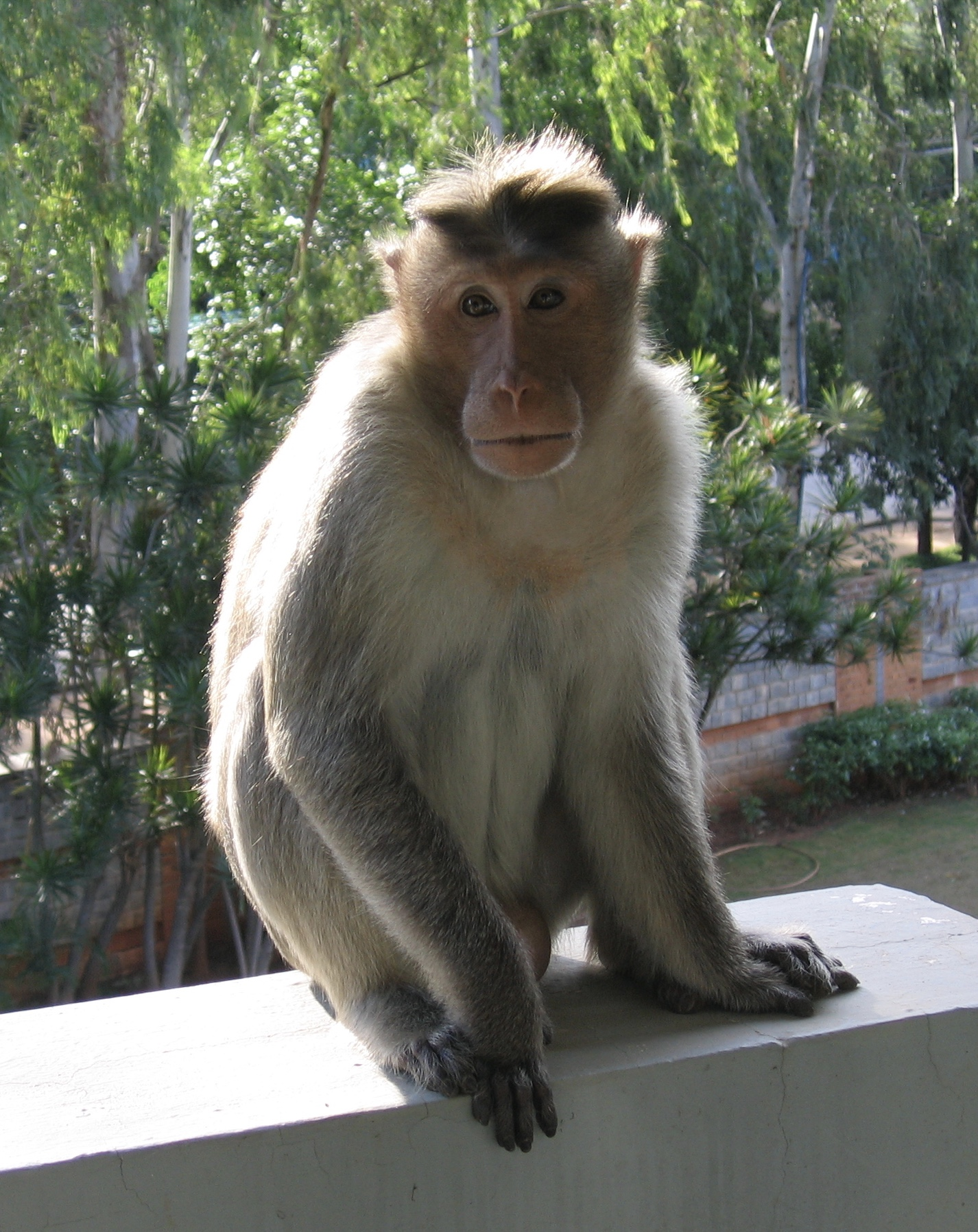 A conniving monkey in India