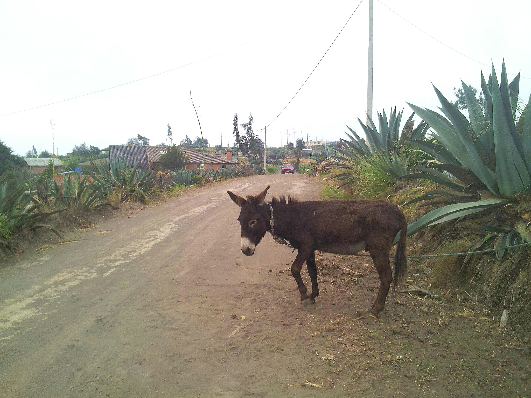 A donkey in the road in Ecuador