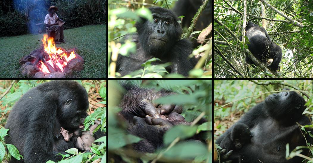 Gorilla-Story