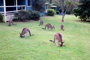 Kangaroos Murramarang