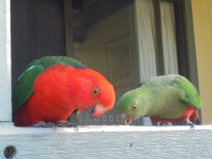Colorful parrots, Murramarang