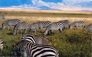 Zebras safari in Tanzania