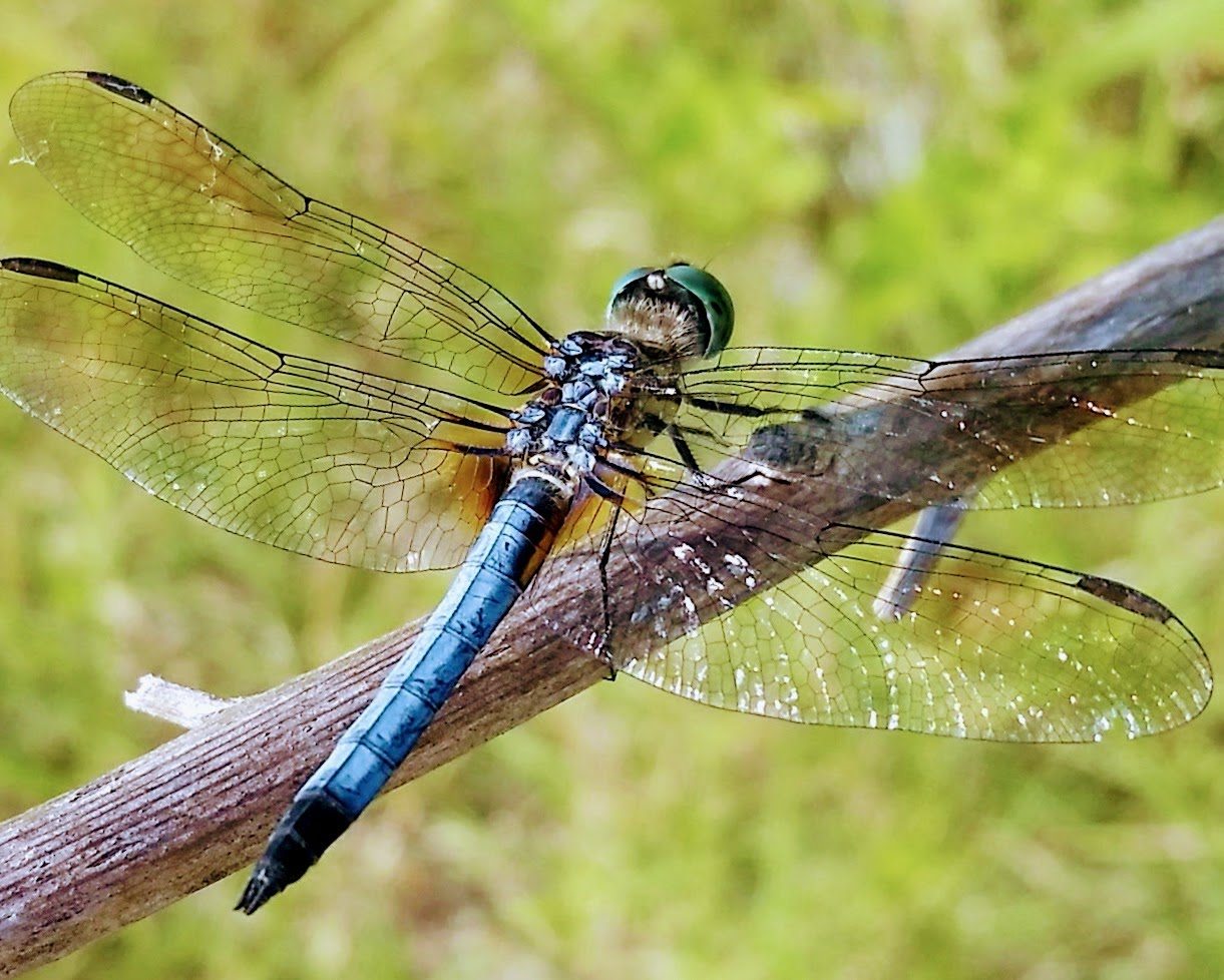 Blue Dragonfly in USA