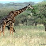 Giraffe by Lisa Niver