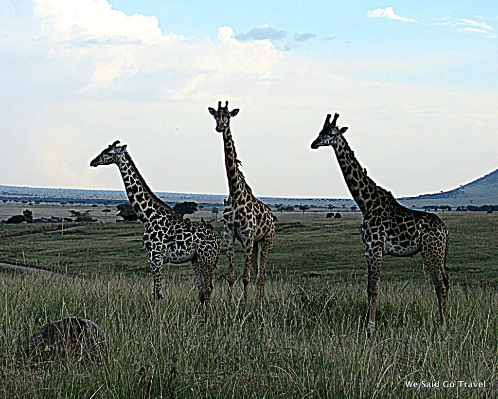 Lisa Niver in Africa: Giraffes on Safari