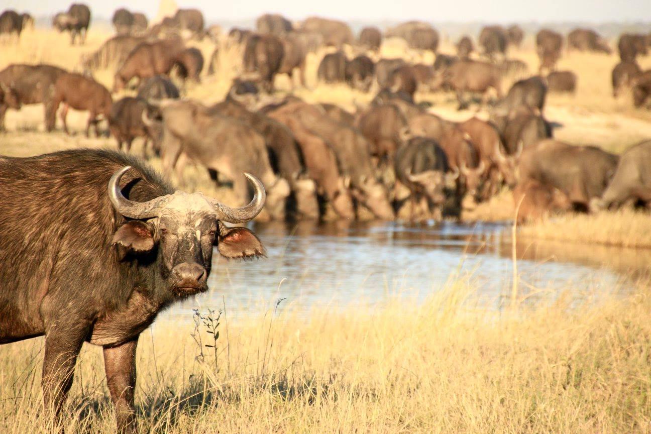 A Buffalo Wanders Into Frame--Botswana
