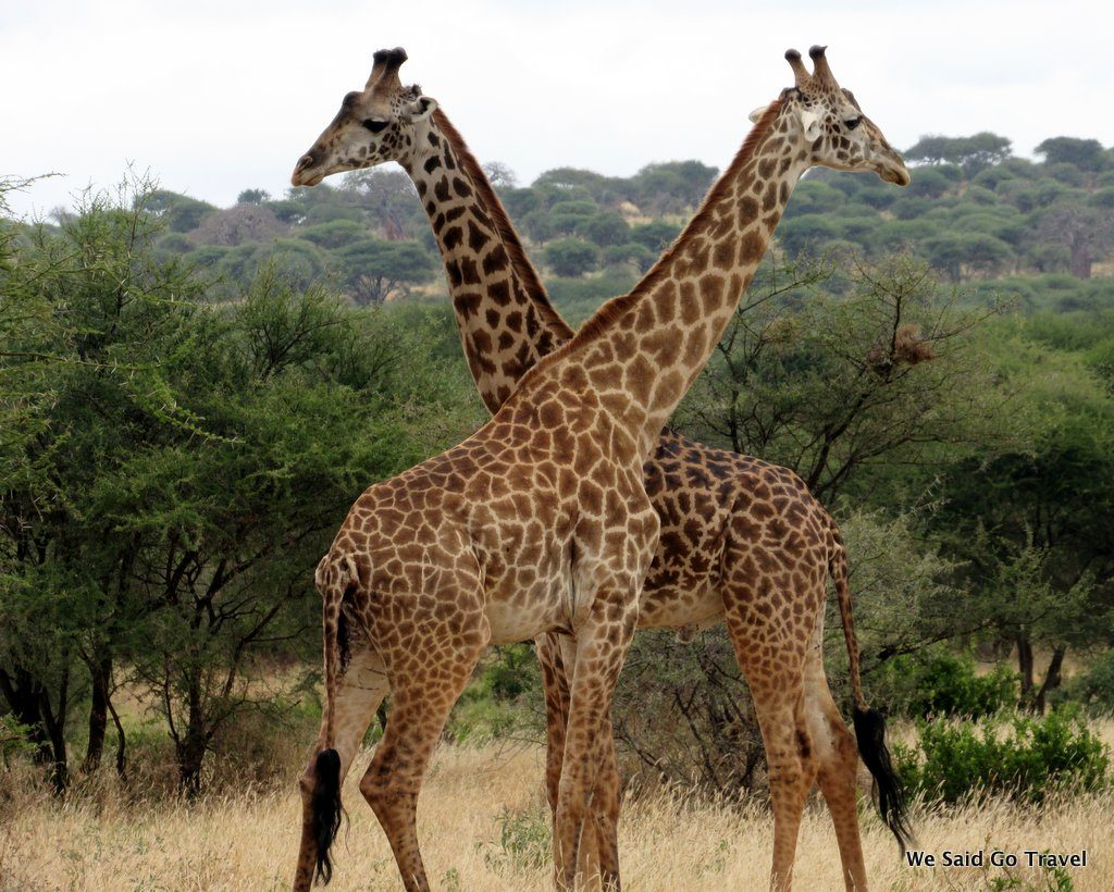 Giraffe in Africa by Lisa Niver
