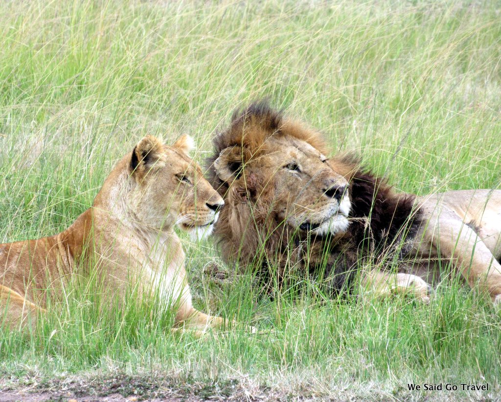 Lion in Africa by Lisa Niver