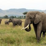 Elephant in Africa by Lisa Niver