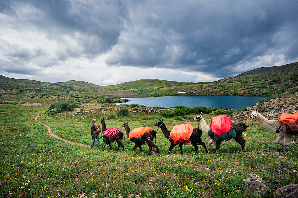 Llama trekking in the United States