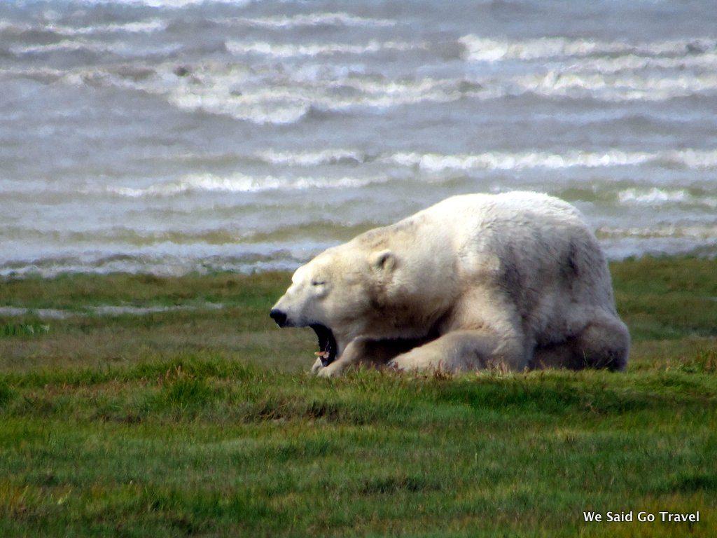 Polar Bear by Lisa Niver 2018