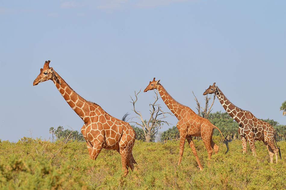 Reticulated Giraffes in Samburu, Kenya