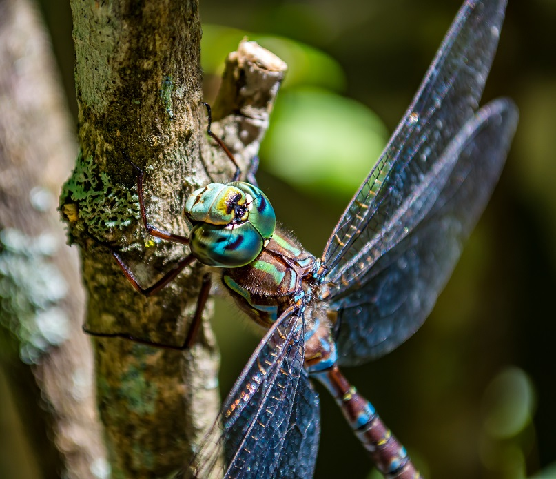 Stunning Dragonfly in Vermont, USA