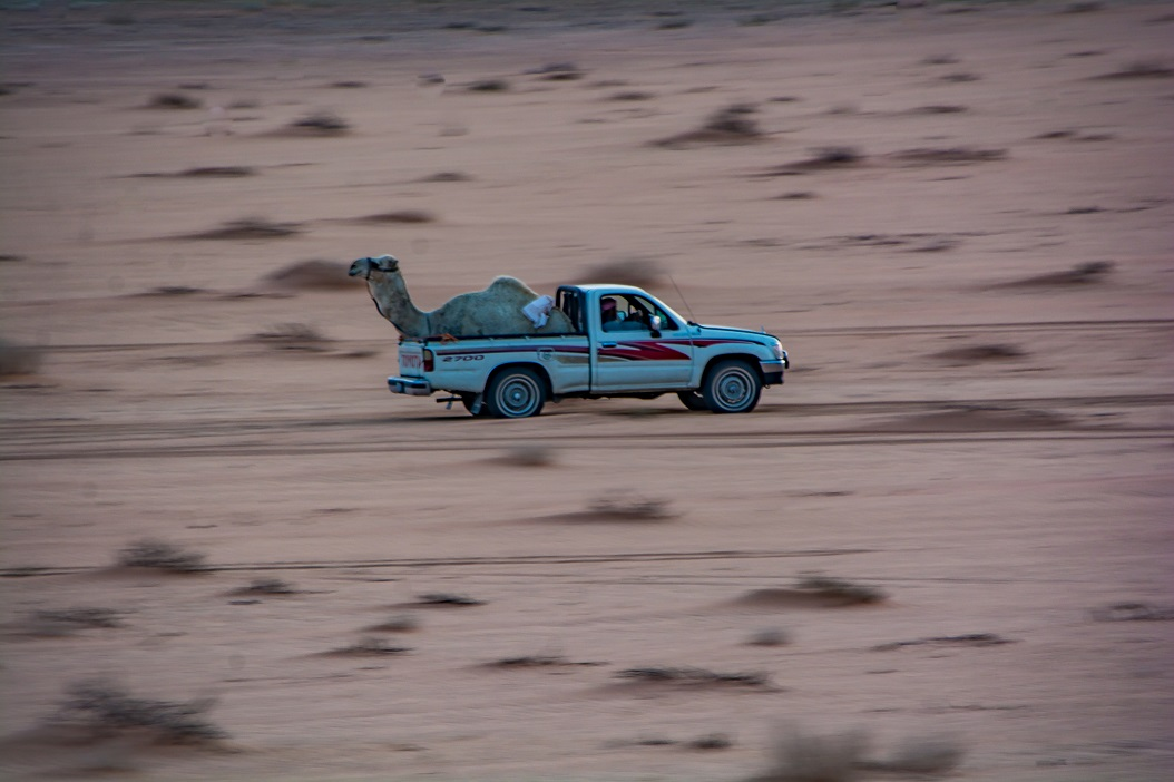 Camel on the Move in Jordan Desert