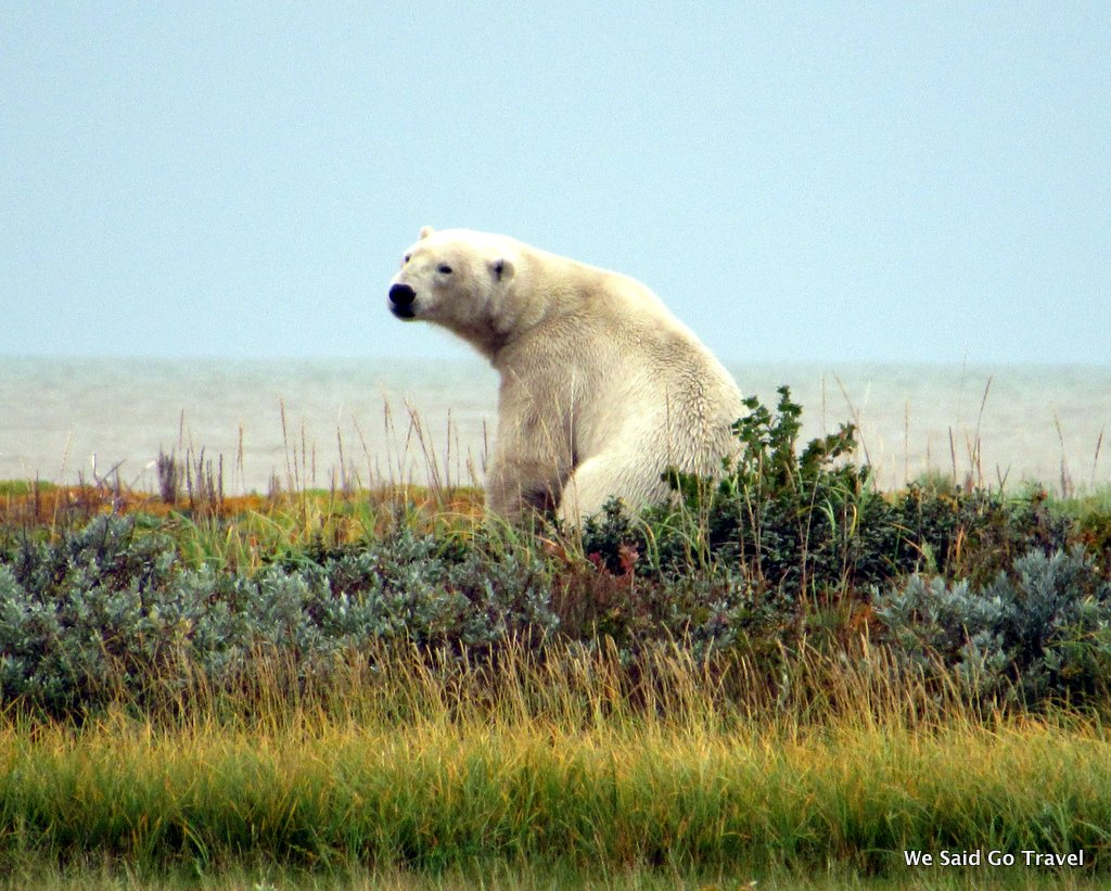 Polar Bear by Lisa Niver at Nanuk Polar Bear Lodge, Churchill Wild