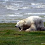 Walking with Polar Bears by Lisa Niver with Churchill Wild near Hudson Bay