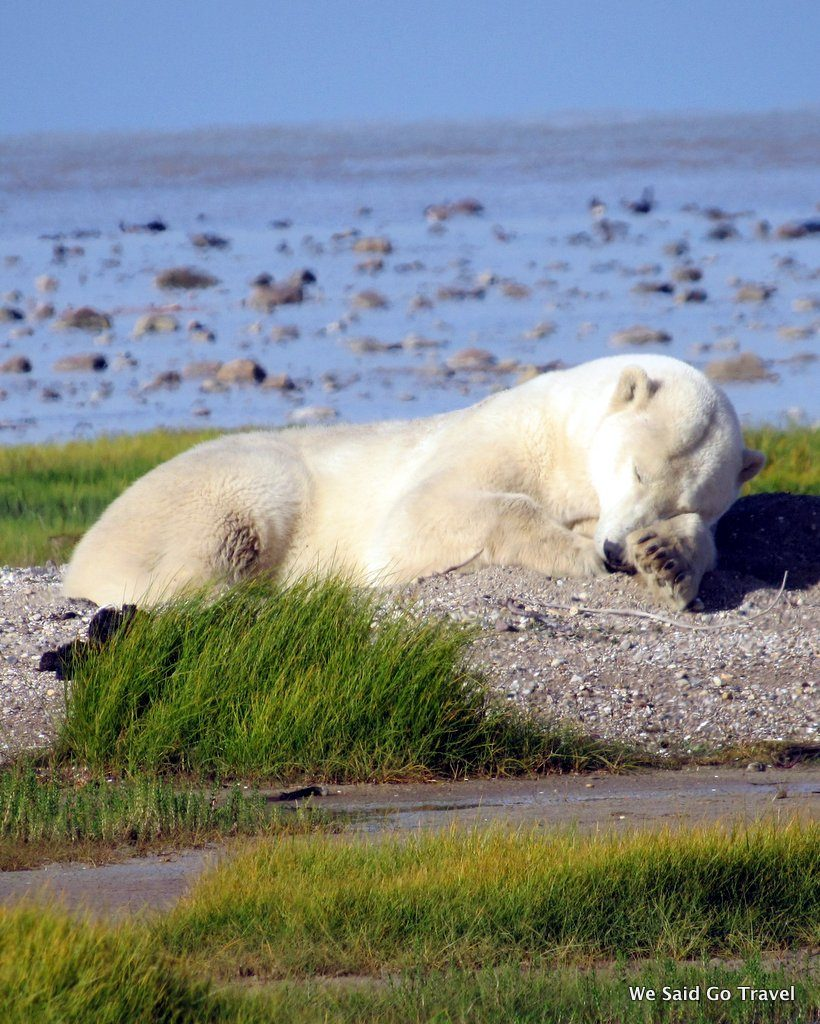 Sleeping Polar Bear by Lisa Niver with Churchill Wild