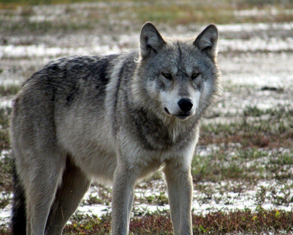 A wolf at Nanuk Polar Bear Lodge Churchill Wild