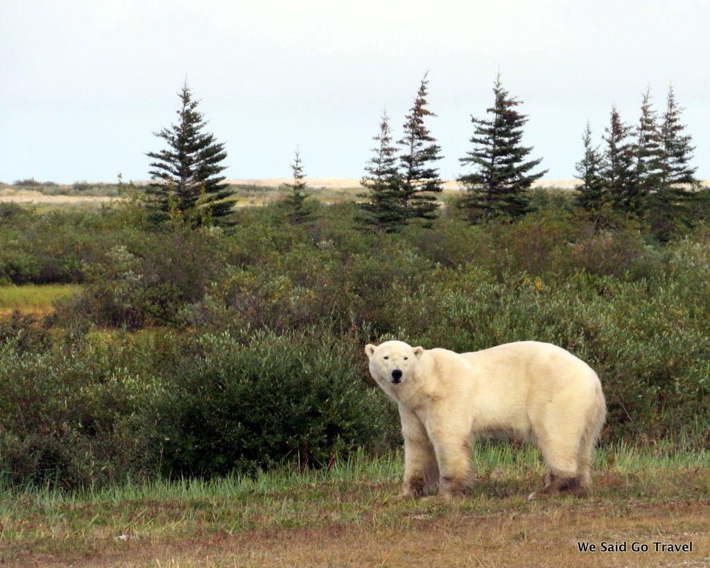 Polar Bear at Nanuk Lodge by Lisa Niver