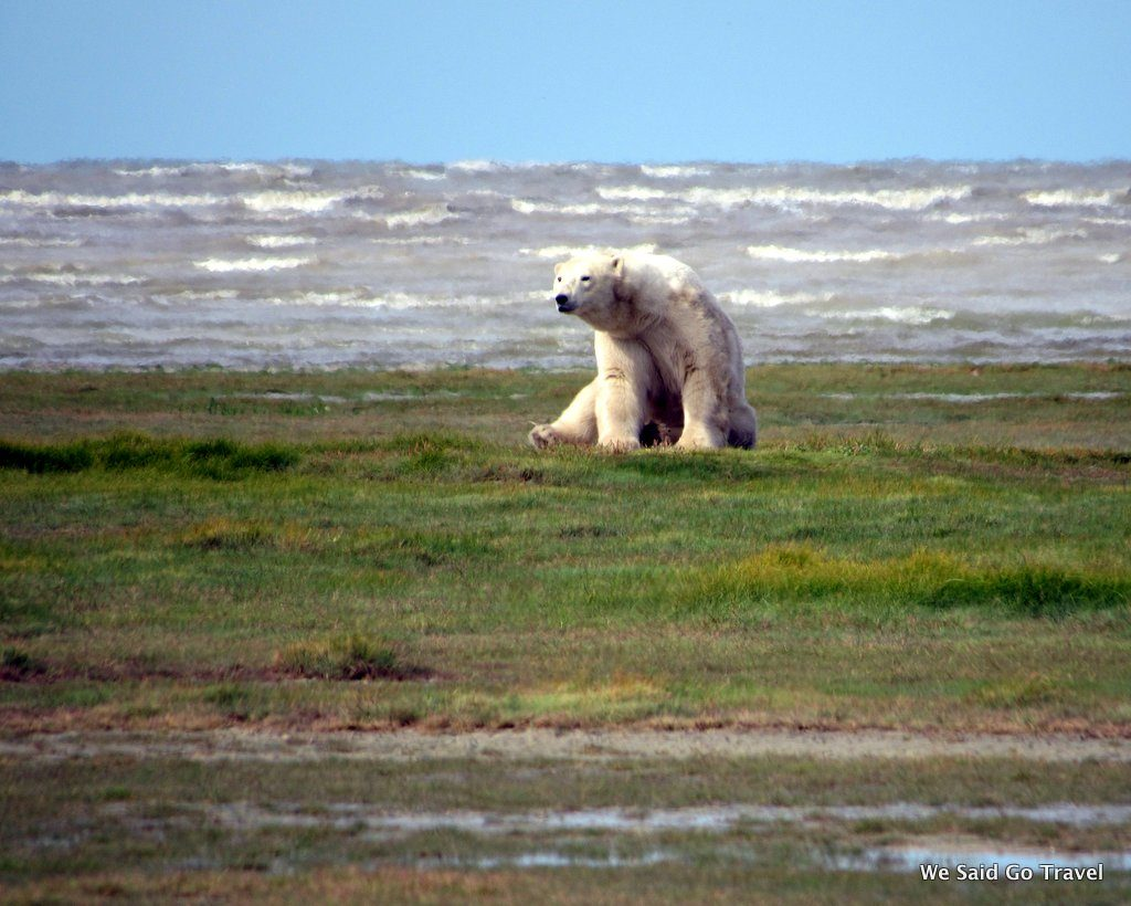 Polar Bear at Hudson Bay by Lisa Niver