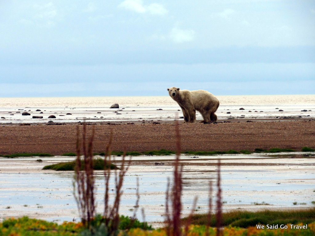 Polar bear from Churchill Wild Walking Adventure by Lisa Niver