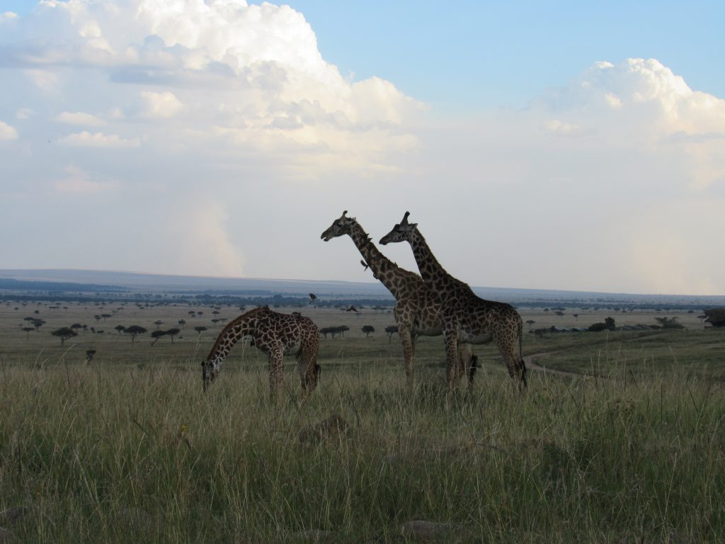 Giraffes in the Maasai Mara by Lisa Niver