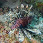 Lionfish photo by Scuba St Lucia