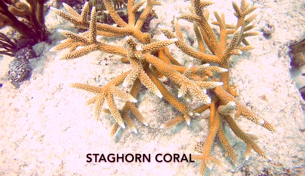 Staghorn Coral at Angler's Reef. Photo by Lisa NIver