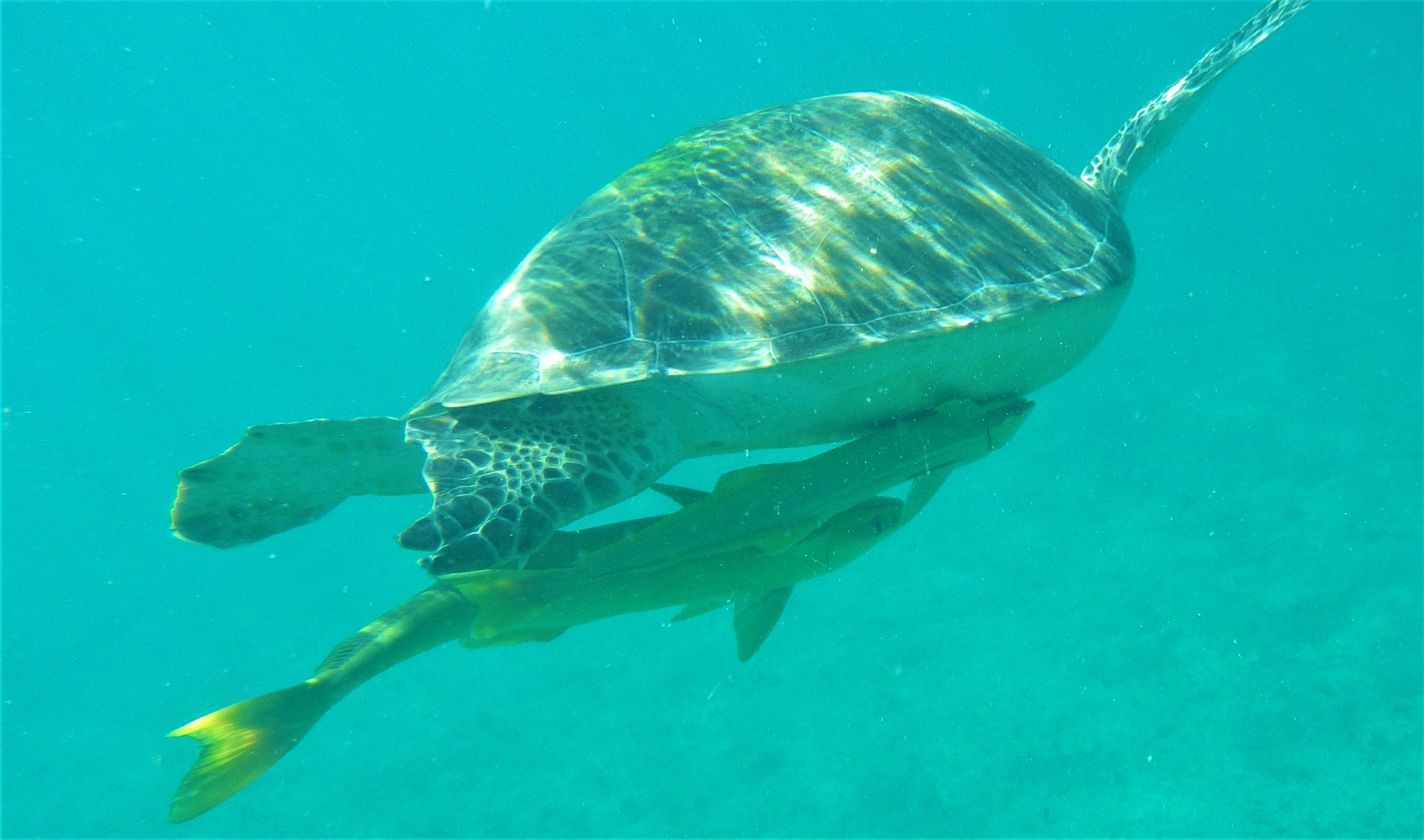 Swim with the turtles in Maho Bay