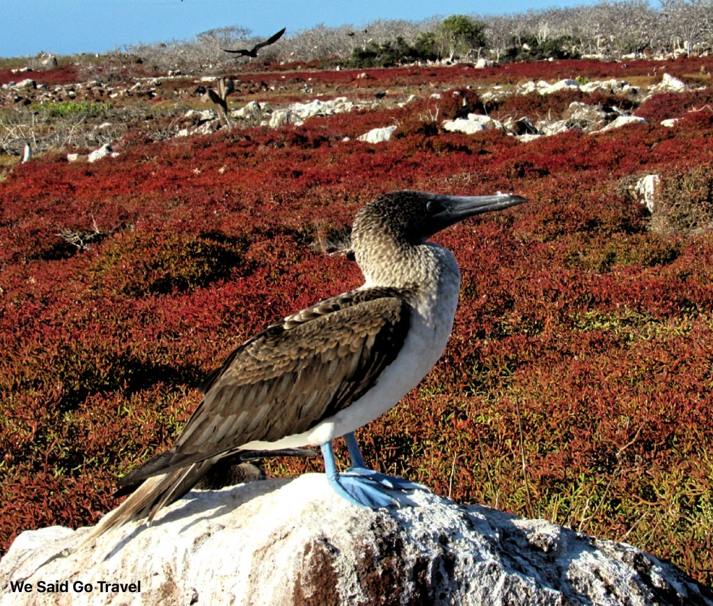 Blue Footed Booby on North Seymour Island, Galapagos by Lisa Niver