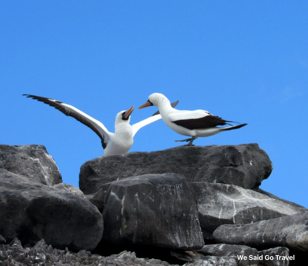 Nazca Boobies on Punta Suarez, Espanola, Galapagos Islands, Photo by Lisa Niver