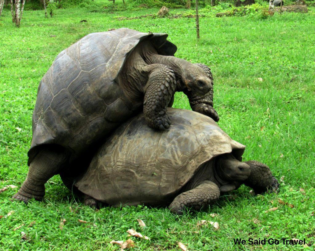 Giant Tortoise Mating at El Chato Ranch Santa Cruz Island Galapagos