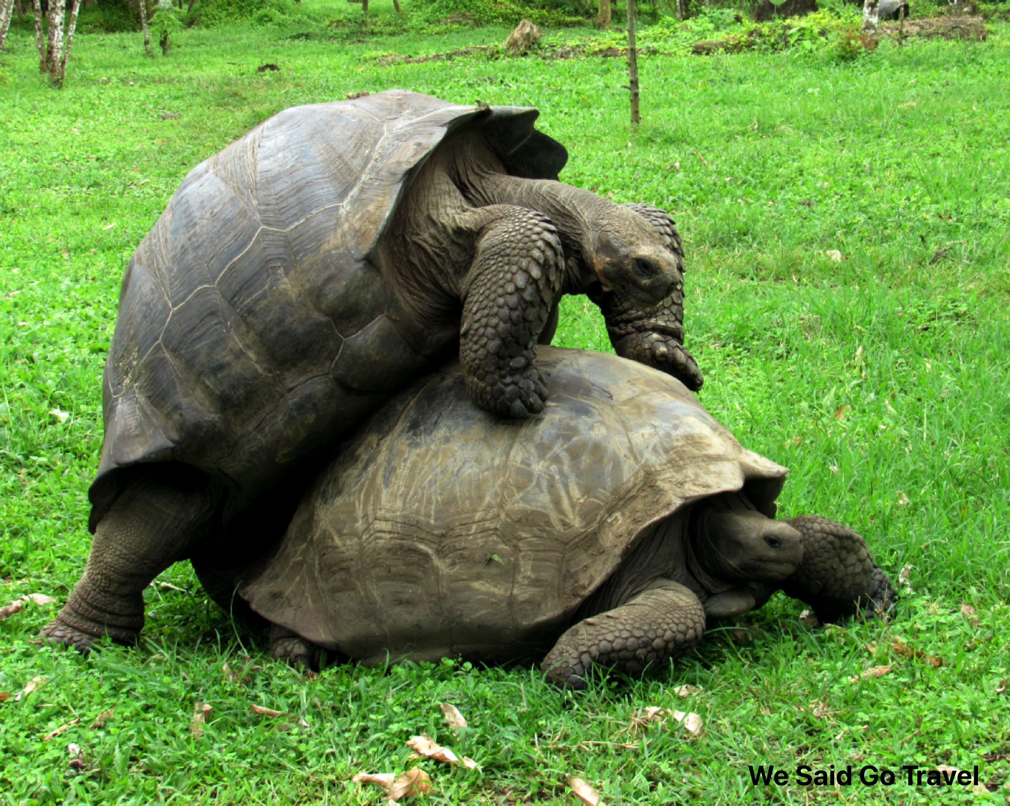 Giant Tortoise Mating at El Chato Ranch Santa Cruz Island Galapagos