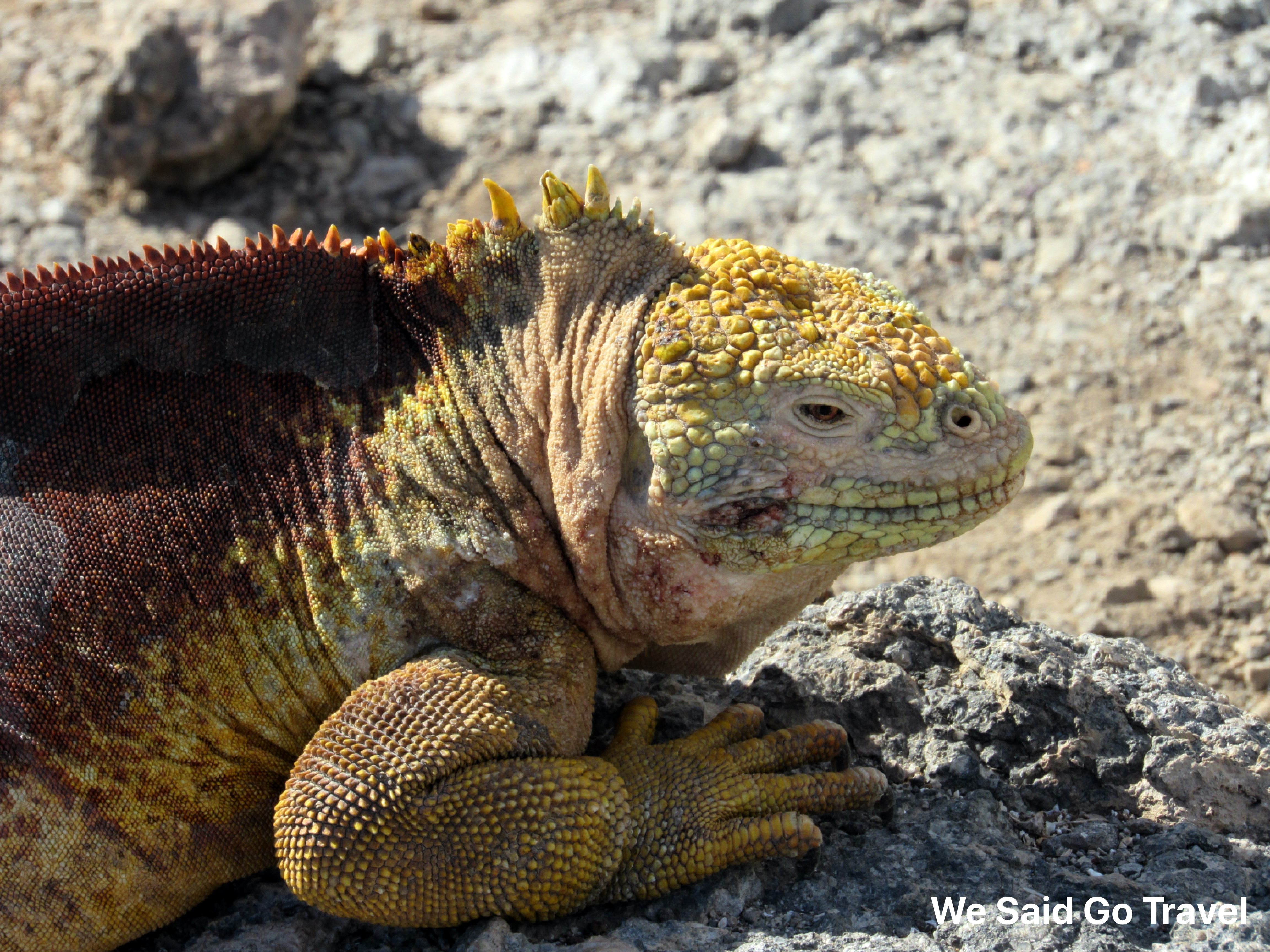 land-iguana-dec-14-south-plaza
