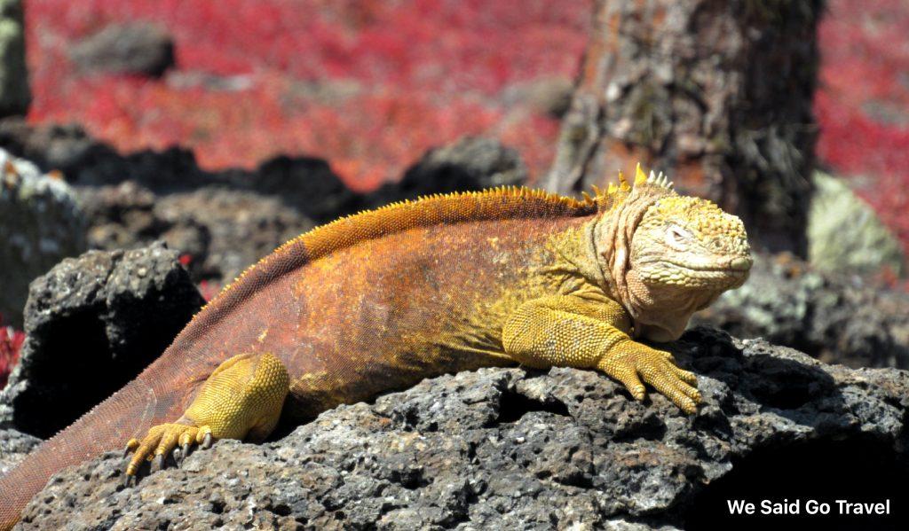 Yellow land iguana on South Plaza, Galapagos Islands, Photo by Lisa Niver