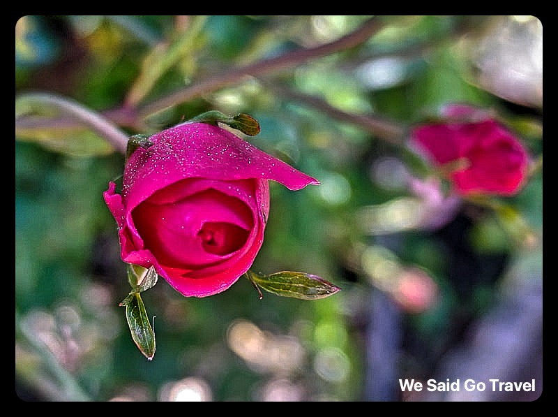 Rose by Lisa Niver #LGV60ThinQ